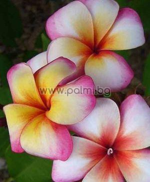 Plumeria rubra cv. Thumbelina, Плумерия сорт Тумбелина, Франджипани