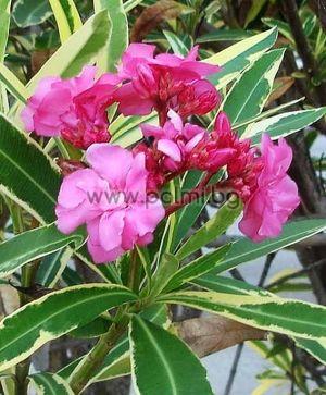 Nerium oleander variegata, Олеандър, розов, кичест, с пъстри листа 'Variegata'