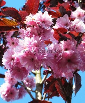 Prunus serrulata 'Royal Burgundy', Japanische Nelkenkirsche 'Royal Burgundy'