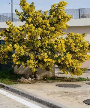 Acacia dealbata, Вечнозелена Сребриста Акация, Синя Мимоза