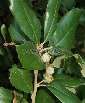 Quercus ilex, Напълно студоустойчив, вечнозелен Каменен дъб