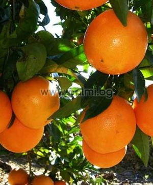 Citrus sinensis 'Newhall V.C.R.', Orange from Botanical Garden - Plovdiv, Bulgaria