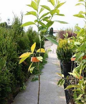 Citrus sinensis 'Newhall V.C.R.', Портокал сорт Нюхол от Палм Център, Ботаническа градина - Пловдив