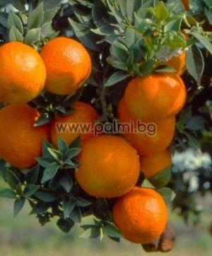 Citrus myrtifolia, Bitterorange 'Chinotto'