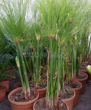 Cyperus papyrus, Папирус, Нилска трева
