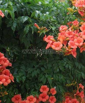 Campsis grandiflora, Кампсис, Текома, Бигнония