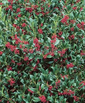 Ilex aquifolium Nellie R. Stevens, Джел, Илекс Нели Стивънс