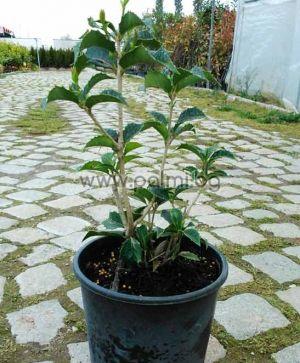 """Osmanthus aquifolium, Османтус, """"Сладка маслина"""""""