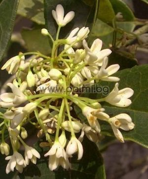 Osmanthus fragrans, Sweet olive, Fragrant olive, Tea olive