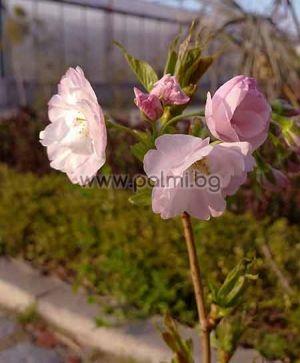 Prunus serrulata 'Amanogawa', Säulenzierkirsche