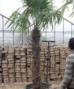 Студоустойчива палма Трахикарпус с 1,4-1,5 м стъбло