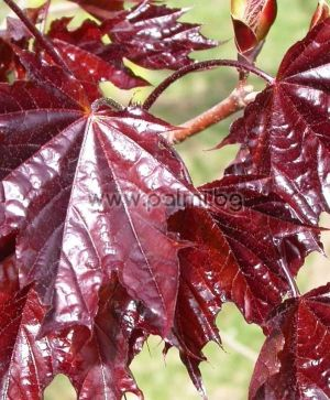 Acer platanoides 'Crimson King', Norway maple 'Crimson King'