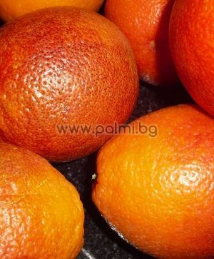 Citrus sinensis Sanguinello SSA Nuc. 66-SSA-12, Портокал сорт Сангуинело от Палм Център, Ботаническа градина - Пловдив