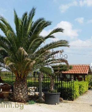 Канарска финикова палма