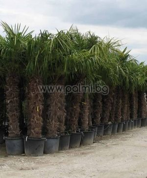 Windmil palm, Chusan palm, Trachycarpus palm 1,4-1,5 m trunk