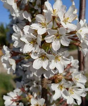 Prunus serrulata pendula, Плачеща Японска вишна