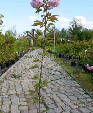 Prunus serrulata Kanzan, Японска вишна 'Kanzan'
