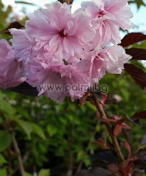 Prunus serrulata 'Royal Burgundy', Японска вишна с червени листа, хибрид Роял Бургунди