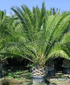 Phoenix canariensis, 10 fresh seeds of Canary Island Date Palm from Botanical Garden - Plovdiv nursery