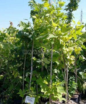 Дърво Лале, Лириодендрон