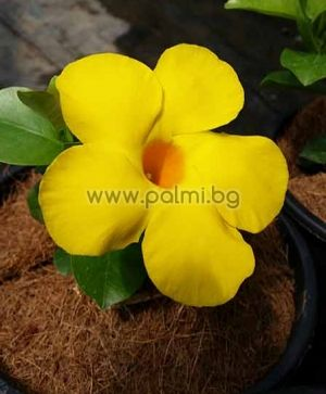 Жълта Мандевила, Yellow Mandevilla