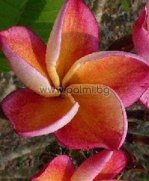 Plumeria rubra cv. Captivate, Плумерия сорт Каптивейт, Франджипани