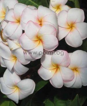 Plumeria rubra cv. Mini White, Frangipani
