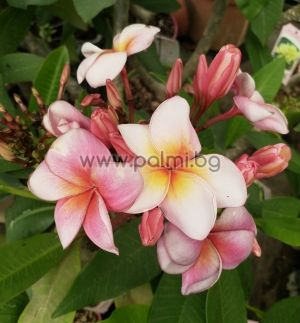 Plumeria rubra cv. Jubilee, Плумерия, Франджипани