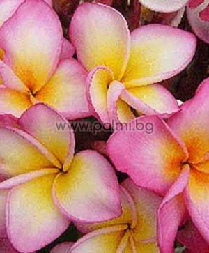 Plumeria rubra cv. Jenny, Плумерия, Франджипани