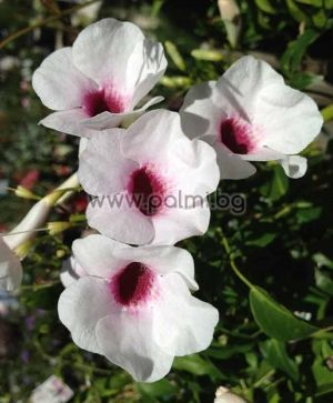 White Bower Vine