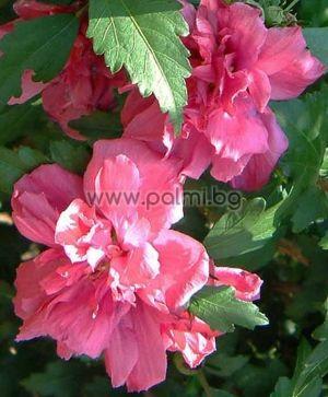 Hibiscus syriacus, Garteneibisch 'Roseus Plenus'