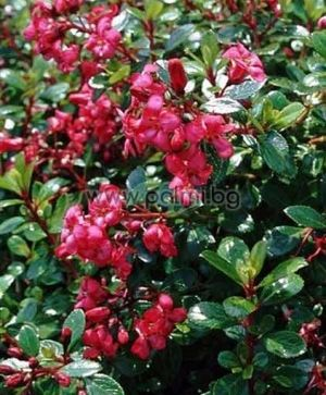Escallonia 'Red Dream', Escallonia, red