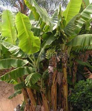 "Musa 'Rajapuri', Ядлив студоустойчив банан ""Раджапури"""
