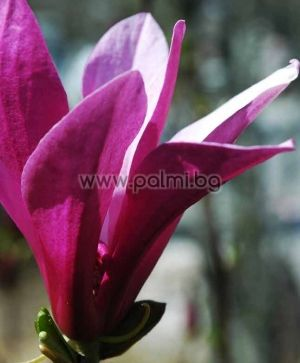 Magnolia soulangeana 'Nigra', Purpurmagnolie