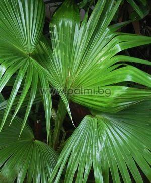 Livistona chinensis, Chinese fan palm