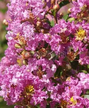 Lagerstroemia indica 'Viola Grassi', Индийски люляк, Лагерстремия
