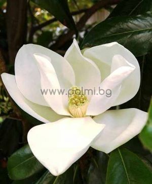 Magnolia grandiflora Gallisoniensis, Großblütige Magnolie 'Galissonière'