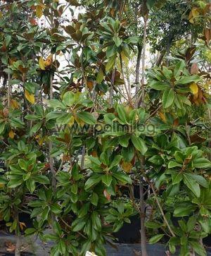 Magnolia grandiflora Gallisoniensis, Вечнозелена Едроцветна Магнолия от разсадник Палм ЦенMagnolia grandiflora Gallisoniensis, Evergreen Southern Magnoliaтър - Пловдив