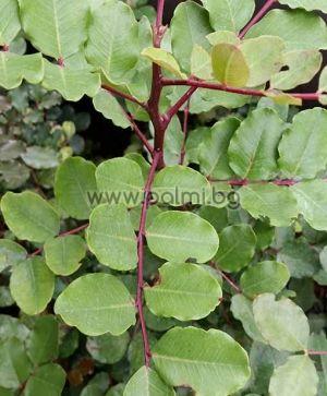 Ceratonia siliqua, Рожков, Цератония от разсадник Палм Център на Ботаническа градина - Пловдив