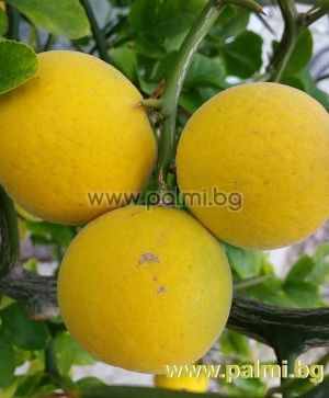 20 seeds of Trifoliate orange  Poncirus trifoliata, var. Monstrosa (Flying Dragon)  from Botanical Garden - Plovdiv, Bulgaria