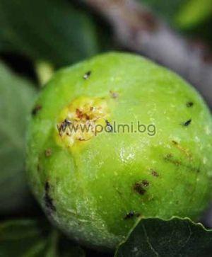 Ficus carica male Brunswick, Мъжка Смокиня Брънсуик (опрашител) от разсадника Палм Център - Пловдив