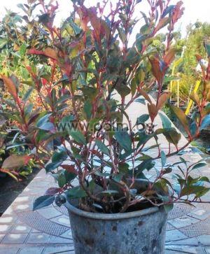 Photinia x fraseri Red Robin compacta, Компактна хибридна Фотиния от разсадник Палм Център на Ботаническа градина - Пловдив