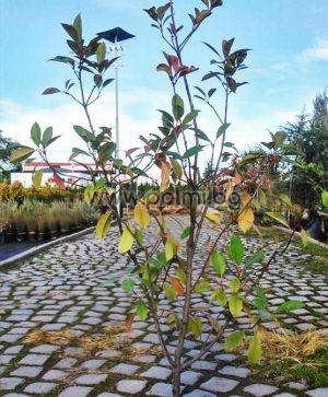 Photinia x fraseri Red Robin, Хибридна Фотиния Ред Робин от разсадник Палм Център на Ботаническа градина - Пловдив