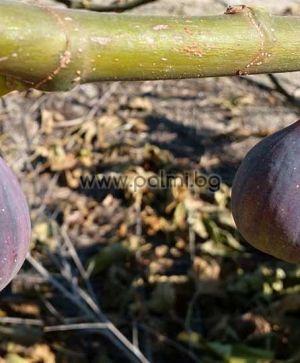 Ficus carica Sultane de Marabout, Смокиня Султан на Марабу  от разсадника Палм Център на Ботаническа градина - Пловдив
