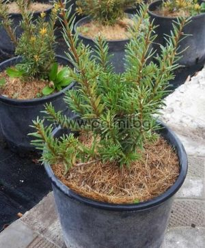 Taxus baccata, European Yew, English Yew
