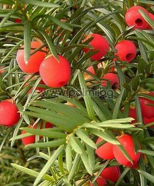 Taxus baccata, Тис  от разсадник Палм Център на Ботаническа градина - Пловдив