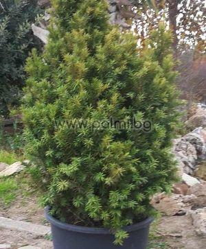 Taxus baccata, Тис, форма aurea fastigiaga от разсадник Палм Център на Ботаническа градина - Пловдив