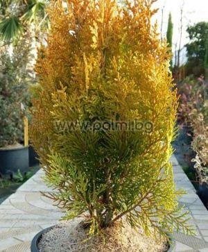 Gelber Zwerg-Lebensbaum