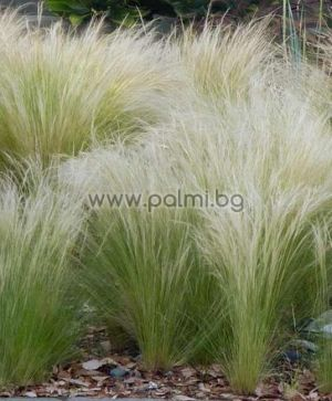 Mexican feather grass, Pony Tails