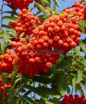 Sorbus aucuparia, European Rowan, European Mountain Ash from Botanical Garden - Plovdiv, Bulgaria